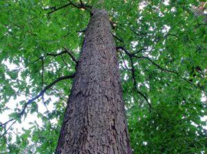 Có hơn 90 loại gỗ Oak xuất hiện ở Mỹ